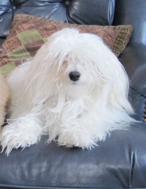 moorea havanese wonders havanese healththe health of our dogs is of paramount importance to