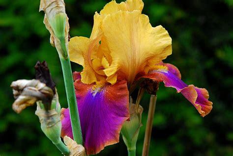 iris flower colors 4068760012 7381140c83 z jpg zz 1