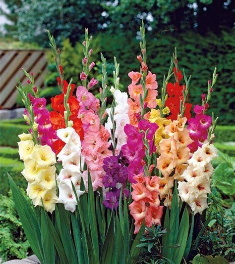 gladioli fiori significado de la flor gladiolo significado de las flores