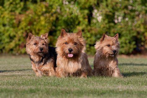 Norwich Terrier Shedding by Norwich Terrier
