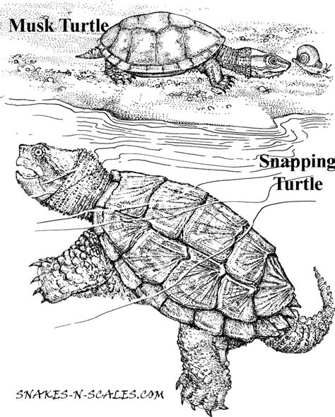 coloring pages snapping turtle musk turtle snapping turtle coloring page snakes n