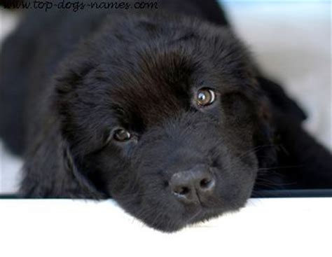 black names puppies uncover unique black names plus meanings pics and naming ideas