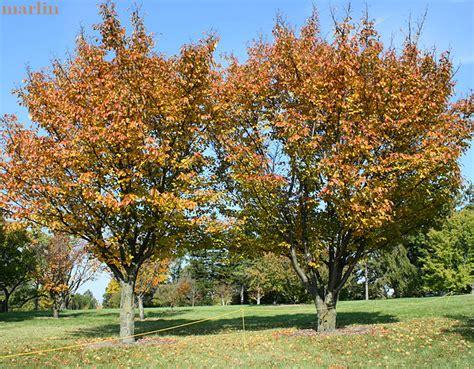 judd s cherry tree prunus x juddii