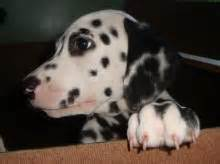 dalmatian puppies for sale ma boston gringo