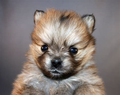 signs of pomeranian dying beating a pomeranian puppy to daisyfoundation ca