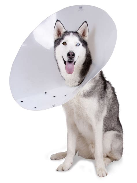 elizabethan collar for dogs entropion in dogs symptoms causes types corrective surgery before and after images