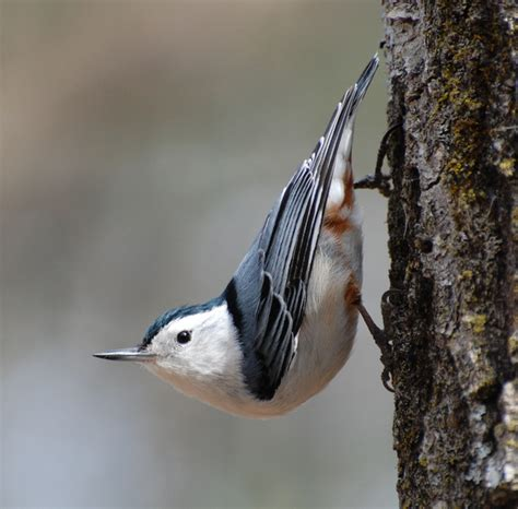 white breasted nuthatch coniferous forest