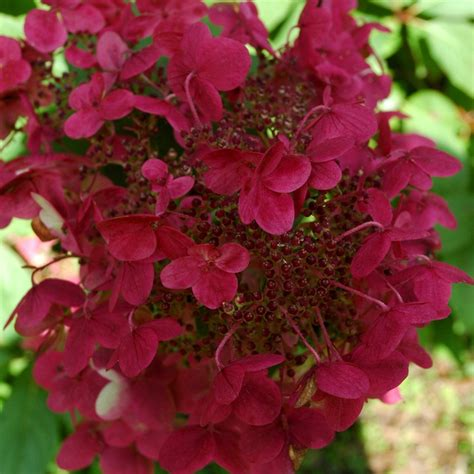 Hydrangea Paniculata Wims 5299 by Buy Hydrangea Hydrangea Paniculata Wim S Pbr 163 17 99