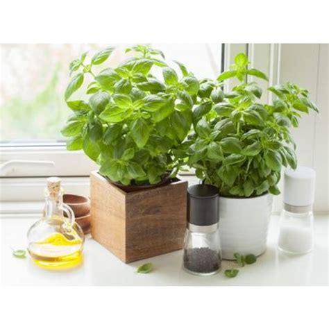 Cultiver Des Plantes Aromatiques by Cultiver Les Plantes Aromatiques Dans Sa Cuisine