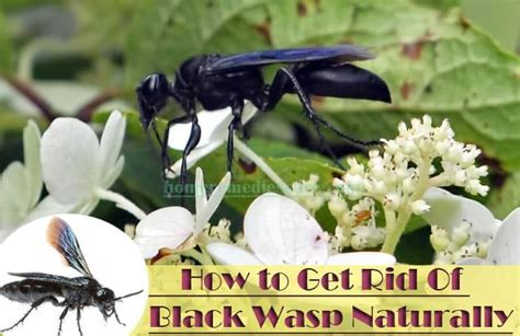 10 effective home remedies to get rid of black wasp naturally
