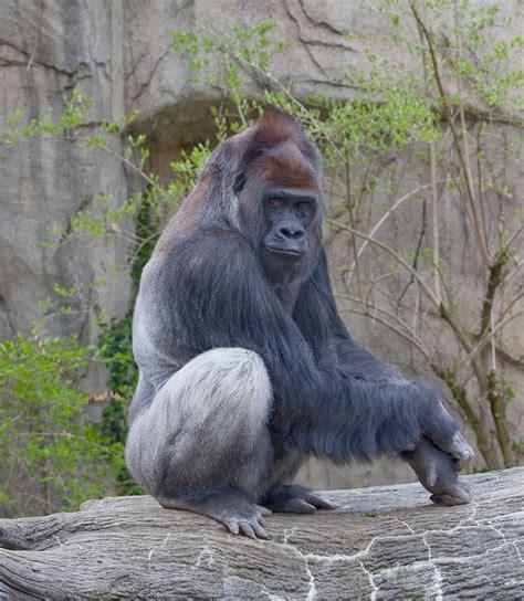 Western lowland gorilla - Wikipedia