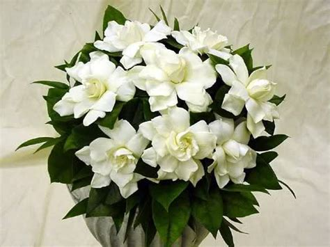imagenes de flores jasmin la gardenia en toda su belleza dedicado a julia mundo