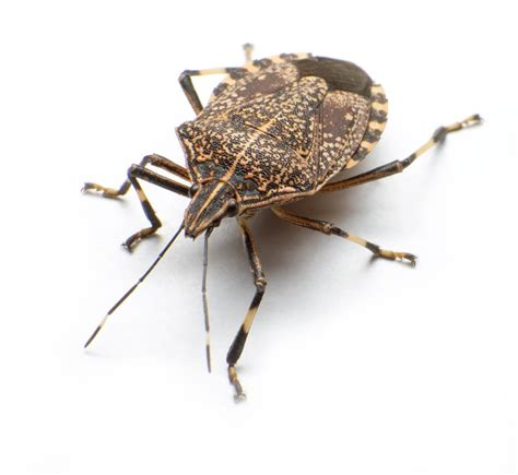what is a bed bug stink bugs 101 what do stink bugs look like plus 8 facts pestwiki