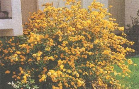 fiori gialli primaverili arbusto fiori gialli primavera gpsreviewspot