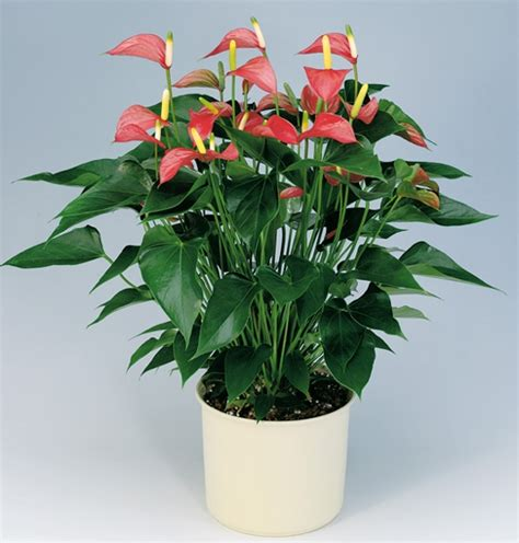 Plants In Planters by Pink Anthurium Plant Gift Guru