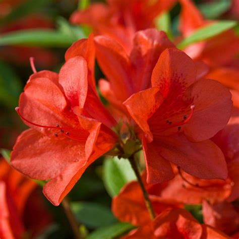 encore azalea 1 gal autumn sunburst 80691 the home depot