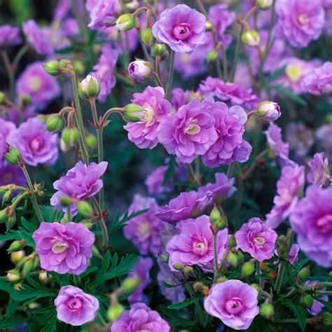 stauden pflanzen stauden geranie summer skies g 228 rtner p 246 tschke
