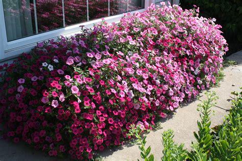 petunias donna s garden
