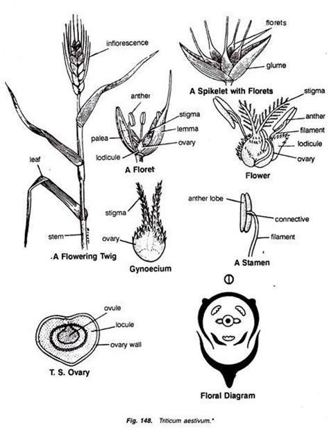 families of monocotyledons with diagram botany