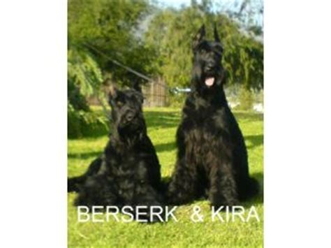 standard schnauzer puppies for sale in ga miniature schnauzer breeders in oklahoma breeds picture