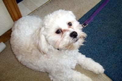 craigslist havanese puppies harley our havanese dogs and advice