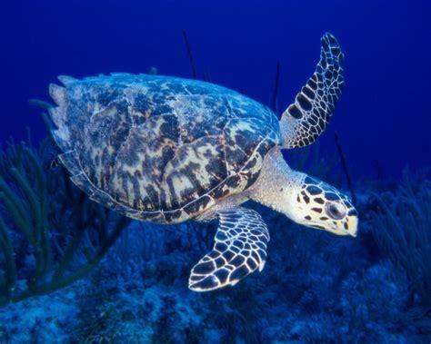 sea turtle live wallpaper free sea turtle live hd wallpapers