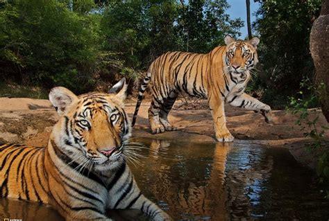Essay On Tigers In India by Una Hembra Descansa Con Su Cachorro En El Parque Nacional Bandhavgarh India