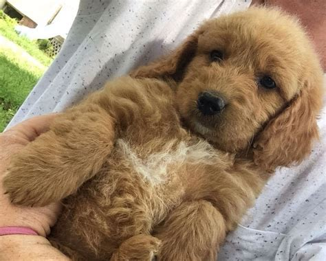 mini goldendoodles maine mini f2b golden doodle from maine reserved