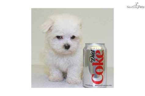 dogs 10 pounds small breed dogs 10 pounds for sale for 350 teacup max our maltese