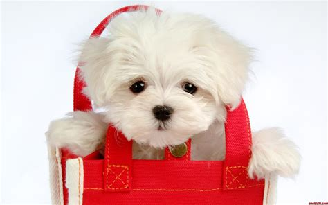 49 cute dog wallpapers top ranked cute dog wallpapers pc lkz484 动物惊人的搞笑本领宽屏壁纸 动物自然图6 电脑之家pchome net