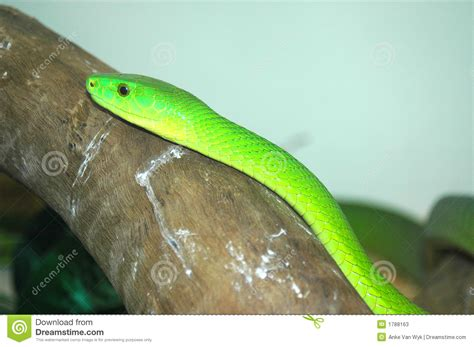 african green african green mamba snake stock photos image 1788163
