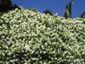 Fragrant Jasmine Plants - gelsomino rampicante jasminum officinalis oleaceae family climbing plant very fragrant it