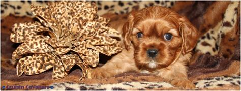 puppy umbilical cord hernia umbilical hernia on a cavalier king charles spaniel puppy
