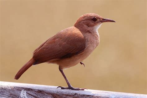 what is a bird rufous hornero