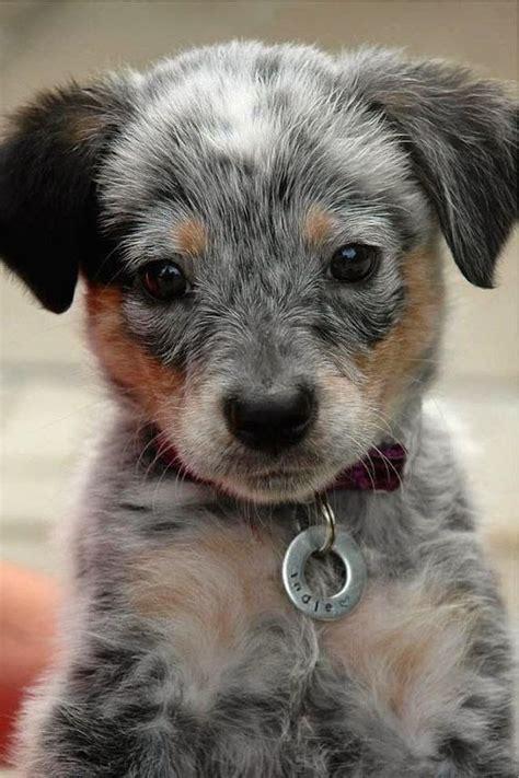 Puppies Born Blind Lil Honey Cute Puppies Heeler Puppies Cutest Dogs Pet