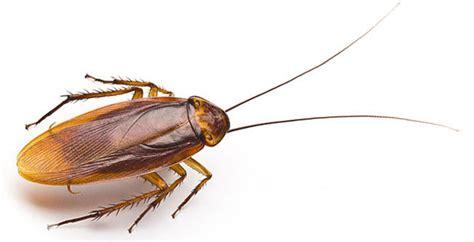 best cockroach get the best cockroach service in australia