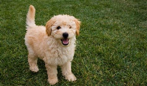 goldendoodle puppy behavior goldendoodle breed information