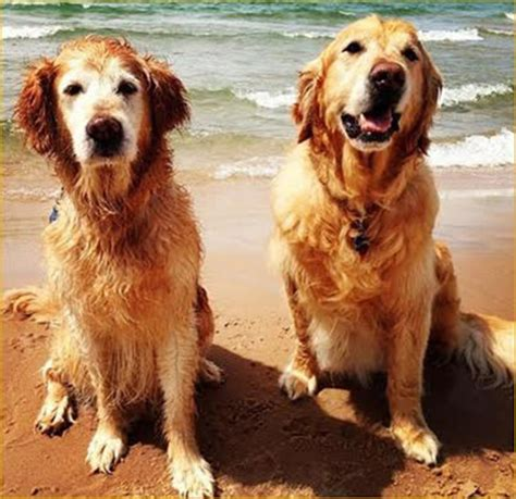 golden retriever rescue michigan golden retriever rescue grand rapids michigan dogs in our photo