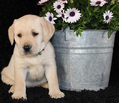 yellow lab puppies for sale in michigan yellow labs for sale in michigan myideasbedroom