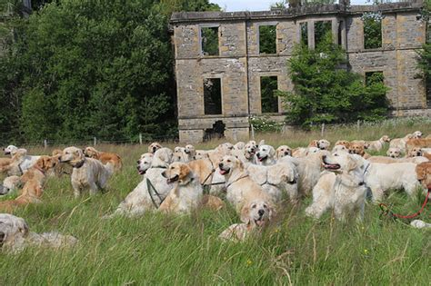 everything you need to about golden retrievers 222 golden retrievers gathered in scotland everything you need to about the