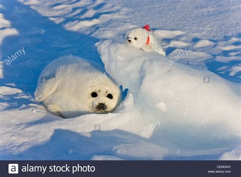 pup seal harp seal pup with stuffed seal on iles de la