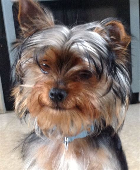 yorkie 5 months small yorkie 5 months needs loving home mansfield nottinghamshire