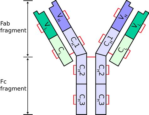 kappa and lambda light chains immunoglobulin heavy chain wikipedia