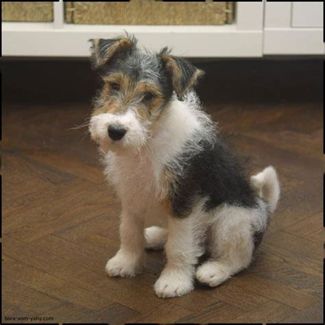 wire hair fox terrier puppies for sale wirehaired terrier puppies for sale breeds picture