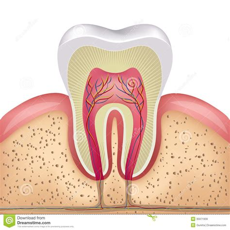 cross section of tooth tooth cross section royalty free stock images image