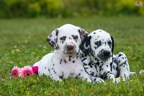 why are dalmatians dogs why dalmatians are the 1 breed to get bladder stones friendly professional