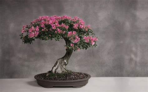 choosing growing bonsai how to grow a bonsai tree home designs project