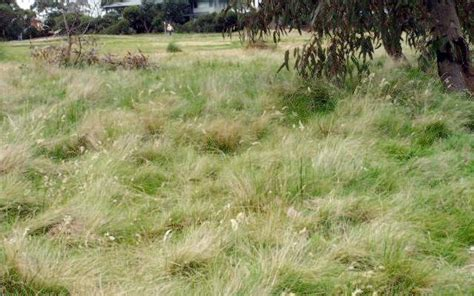 Course On Lawns What You Should by Golf Course Grass Golf Course Grass Types
