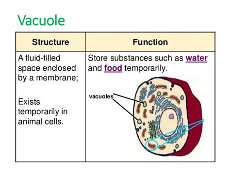 diagram of vacuole describe the structure and function of vacules 11477663