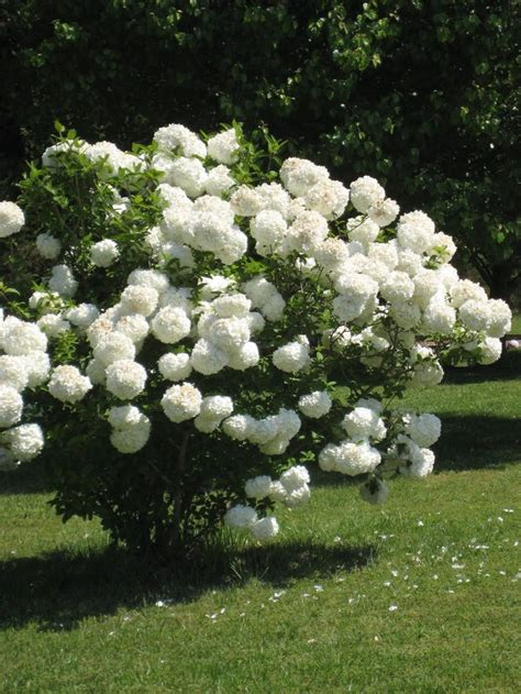 white flower shrub 25 best ideas about snowball plant on white